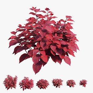 coleus plant 3D model