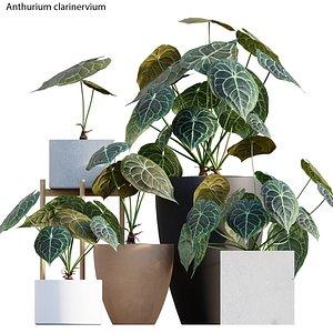 3D Anthurium clarinervium