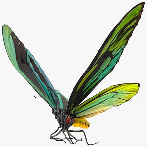 3D Animated Flight Ornithoptera Alexandrae Butterfly Rigged model