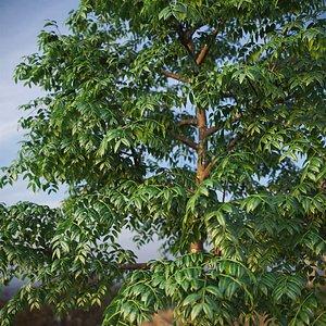 3D XfrogPlants West Indian Mahogany - Swietenia Mahagoni model
