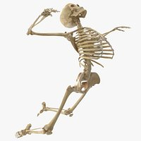 Real Human Male Skeleton Bones Anatomy Rigged With Biped