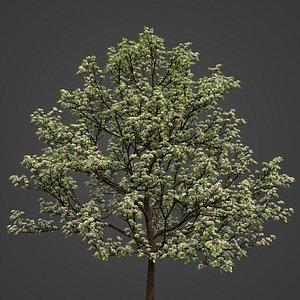 2021 PBR Sweet Cherry Collection - Prunus Avium model