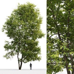 3D tree ash-tree